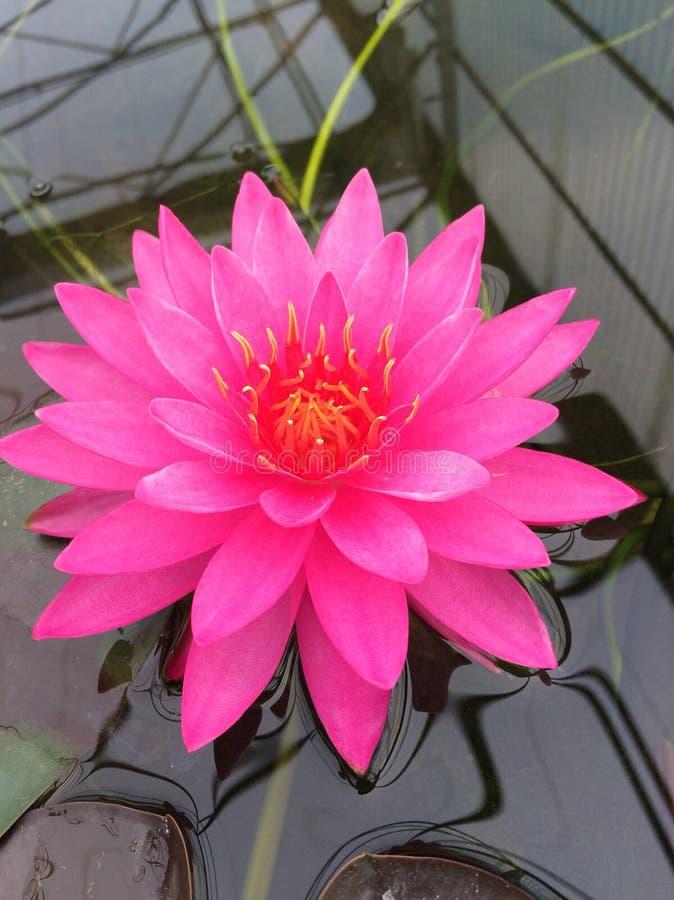 Lotus-schoonheid stock fotografie