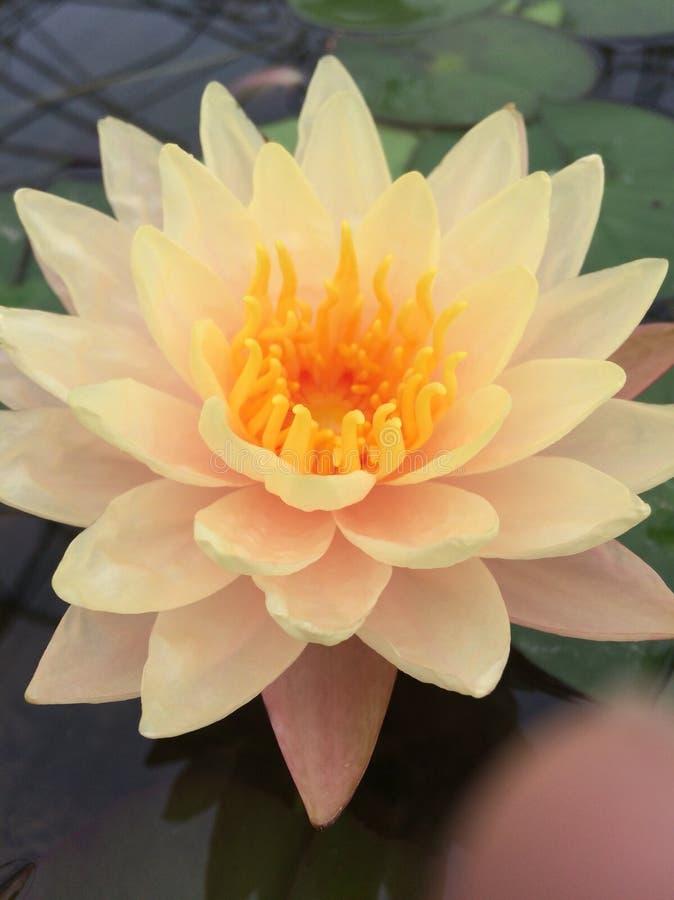 Lotus-schoonheid stock foto's