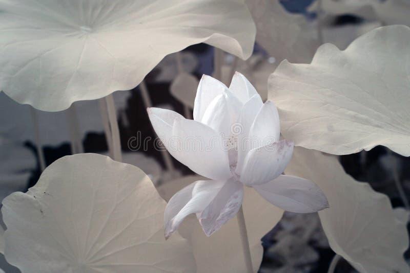 Lotus scientific name nelumbo nucifera stock image image of download lotus scientific name nelumbo nucifera stock image image of creative mightylinksfo