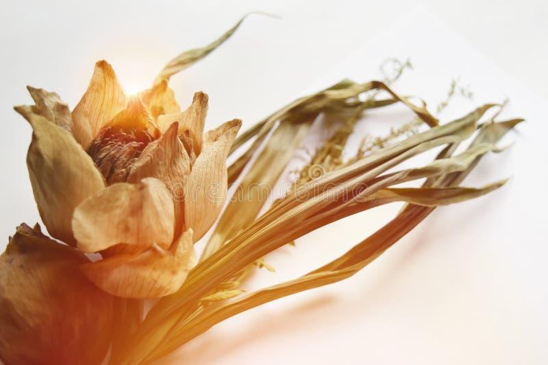 Lotus secó las hojas de la deshidratación en el fondo blanco y del espacio vacío para el texto foto de archivo