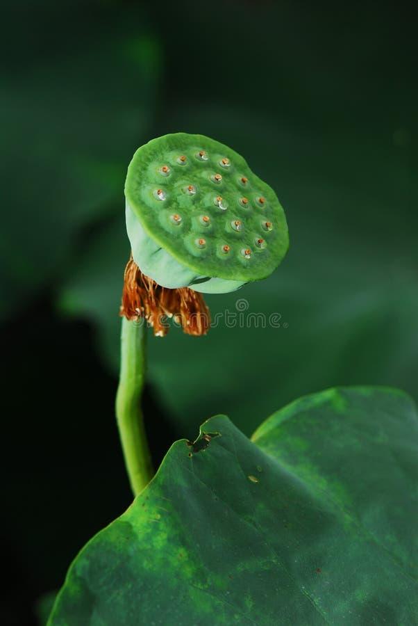 Lotus Seed Stock Photos