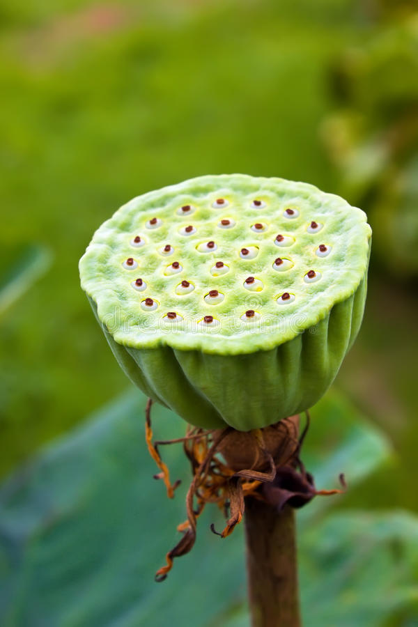 Download Lotus seed stock photo. Image of flower, garden, nature - 25927540