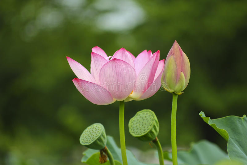 Lotus and seed. A picture of the beautiful lotus stock photos