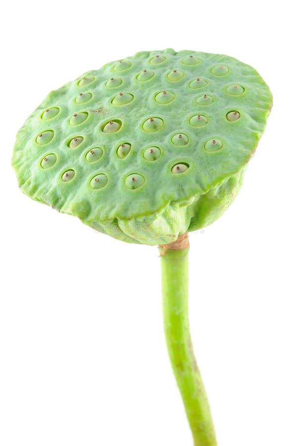 Free Lotus Seed Pod Stock Photos - 10705483