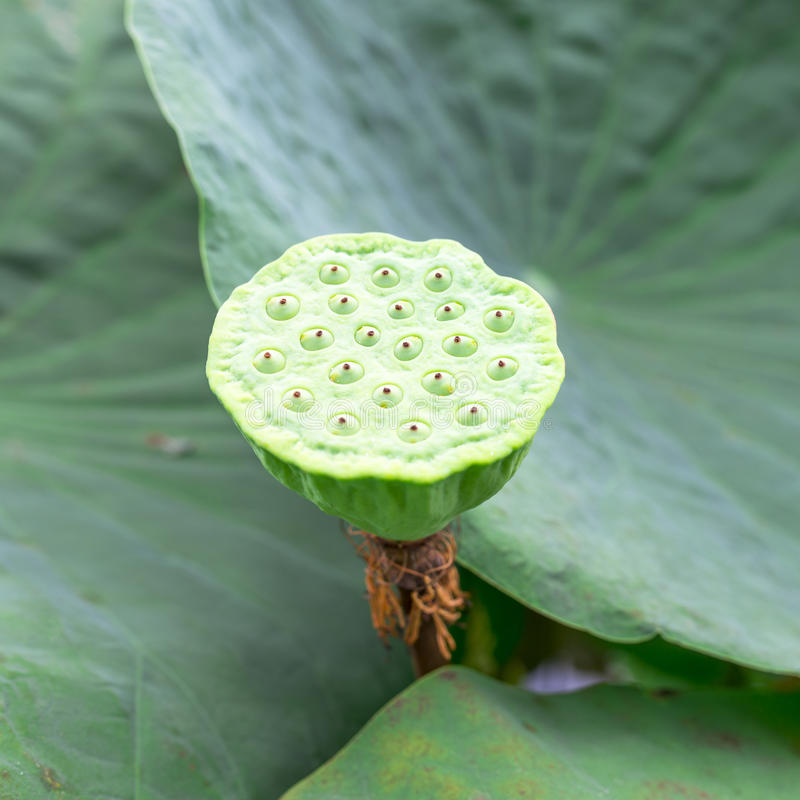 Free Lotus Seed Pod Stock Image - 40465481