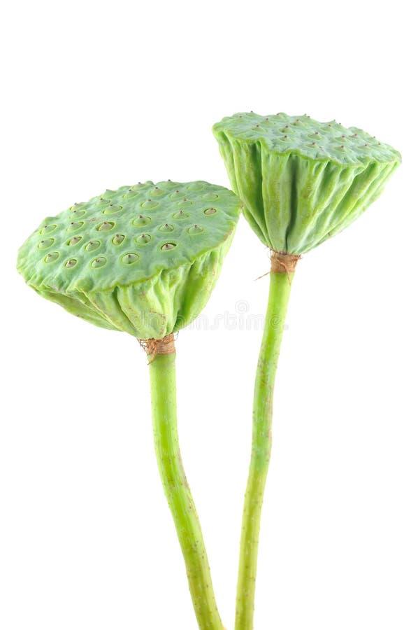Lotus seed pods stock photos