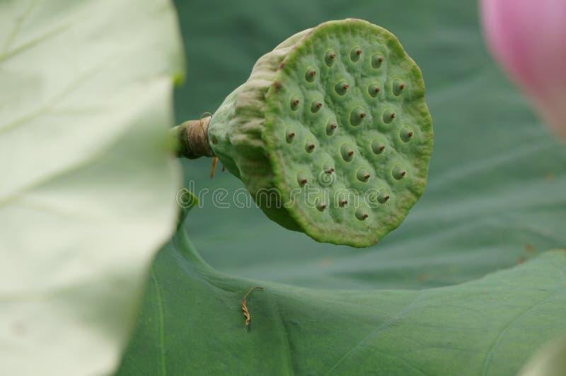 Lotus-seedpod lizenzfreies stockbild