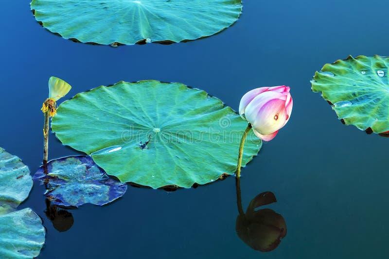Lotus. Seedpod of the lotus and bud royalty free stock image