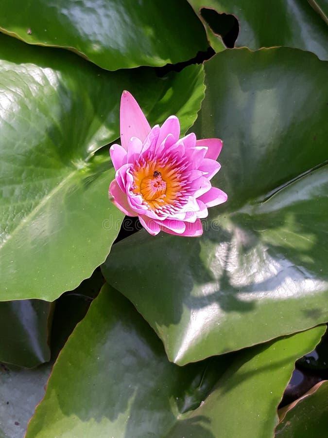 Lotus seul photographie stock