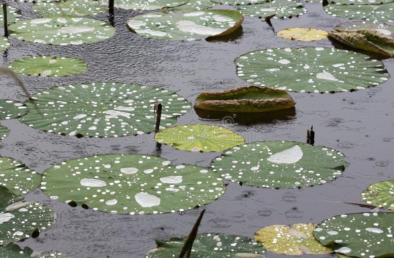 Lotus sidor i regn royaltyfri bild