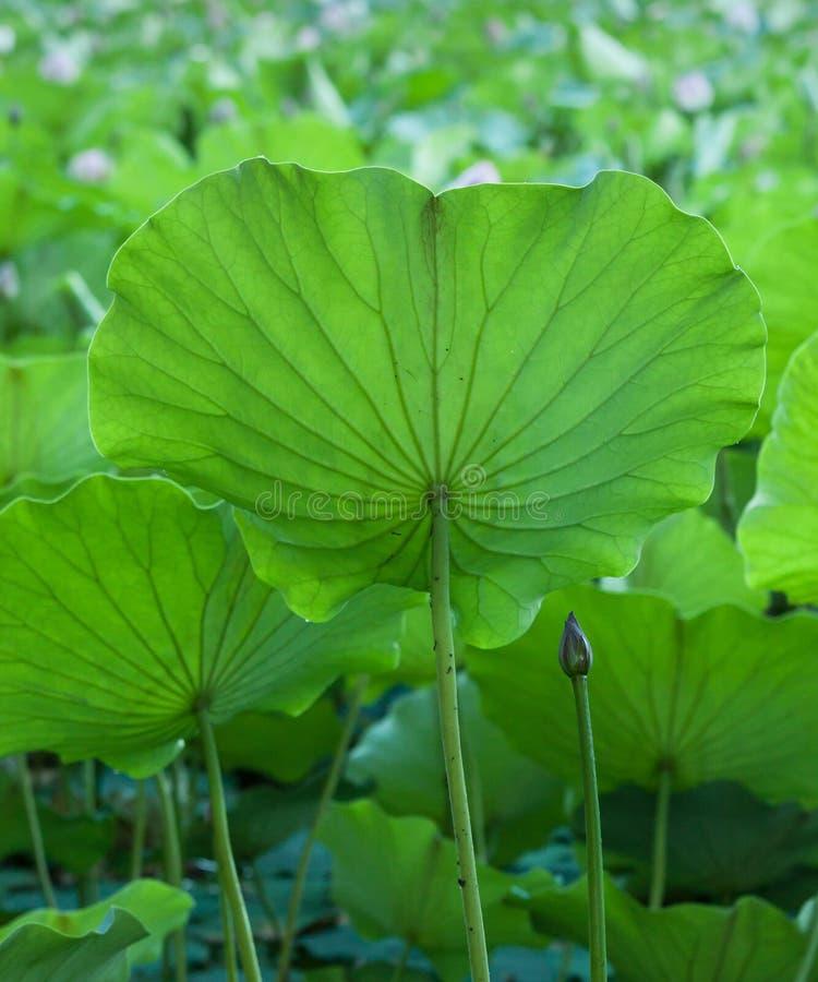 Lotus sidor med knoppar och blommor royaltyfria bilder