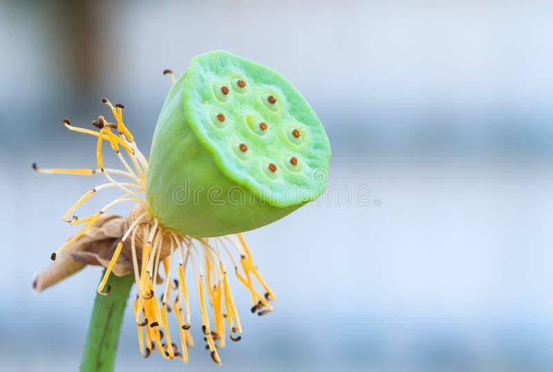 Lotus sin las hojas imagen de archivo libre de regalías
