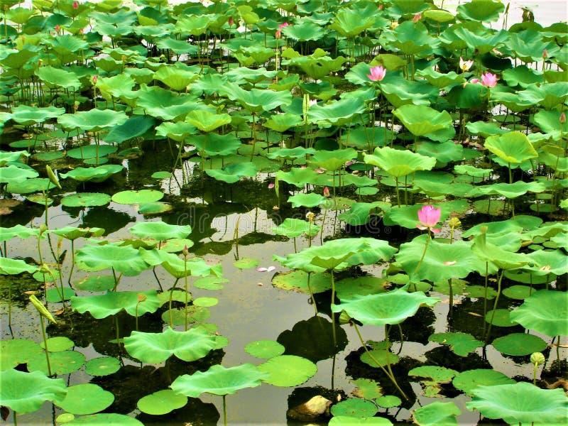 Lotus, sjö, natur, miljö och skönhet royaltyfria foton