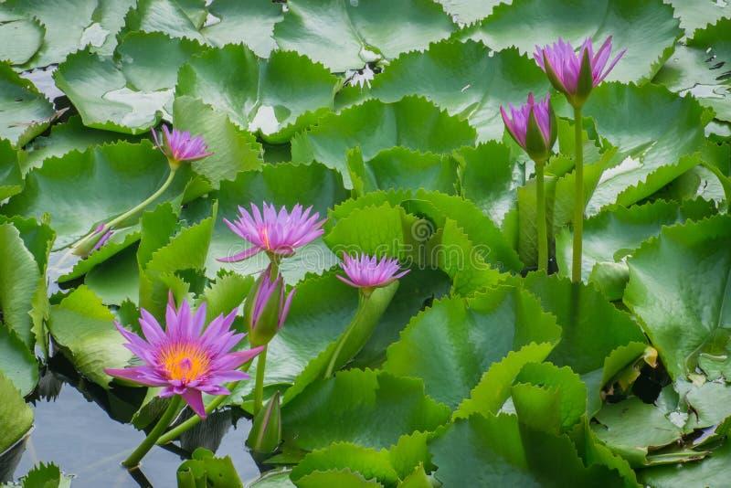 Lotus som är härlig, sommar, rosa färg, natur, skönhet, färg, blomma, phalaenopsis som är tropisk, blommor, gräsplan, garnering,  arkivbilder