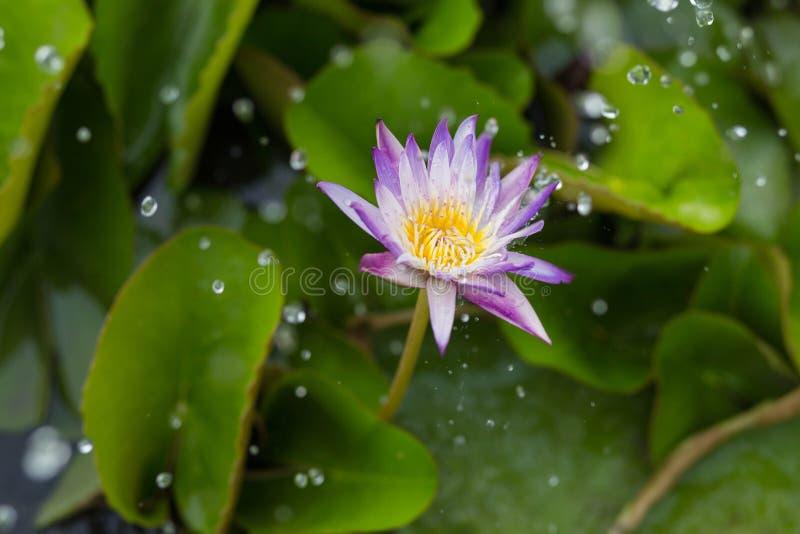 Lotus sous la pluie image libre de droits