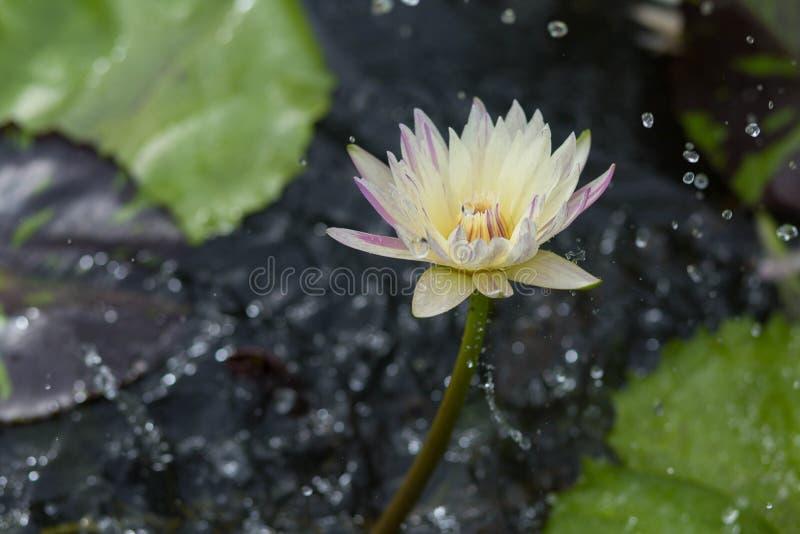Lotus sous la pluie image stock