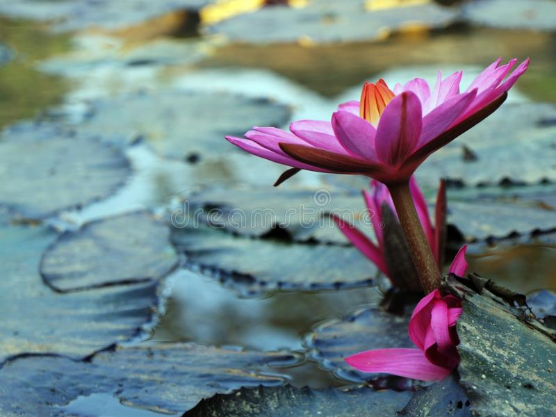Lotus sull'acqua su una bella mattina fotografia stock