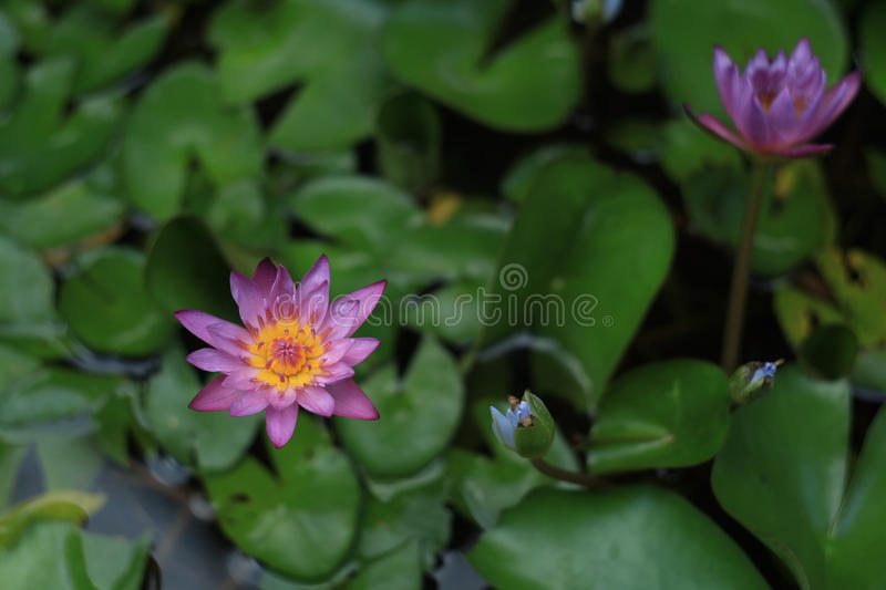Lotus, symbol of four different kinds of peoples in Buddhism royalty free stock image