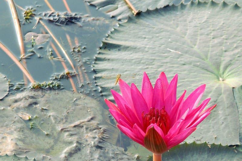 Lotus tegen de achtergrond van groene waterlelies royalty-vrije stock foto's