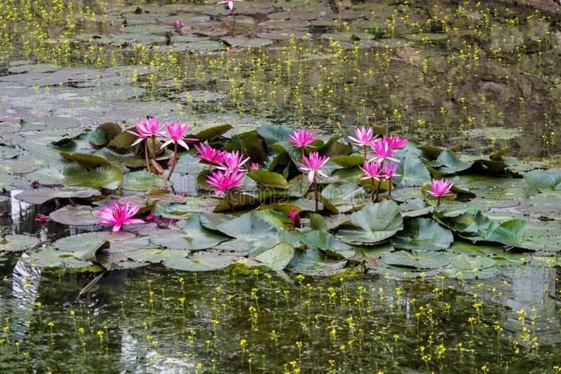 Lotus-Teich in Royal Palace in Luang Prabang, Laos, Asien stockfotos