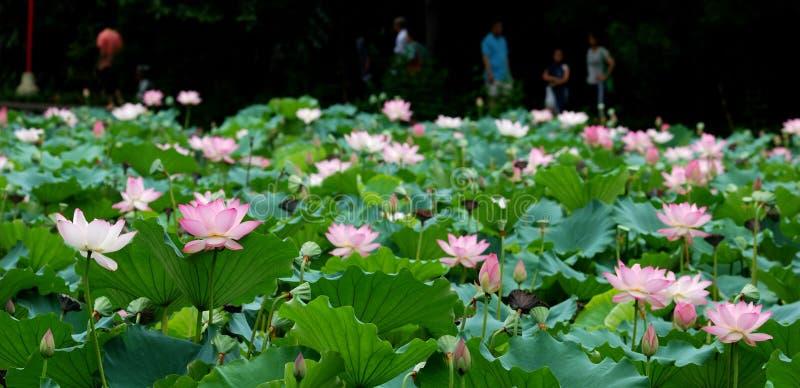 Lotus-Teichlandschaft lizenzfreie stockbilder