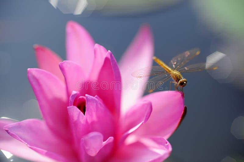 Lotus Thailand royalty free stock image
