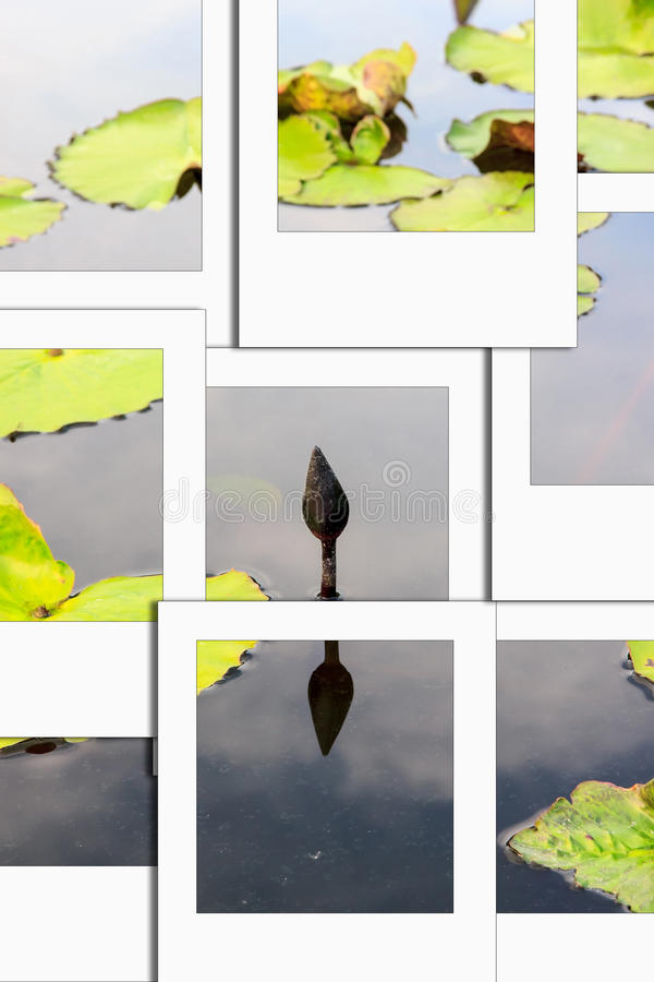 Lotus is to die instant photo. Focus on lotus,it is to die and have black.process instant photostyle stock images