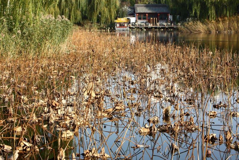 Lotus tombé dans le lac photos stock