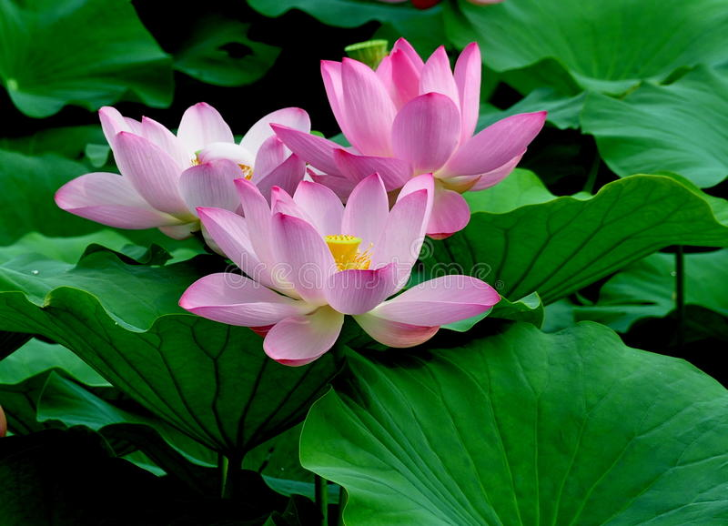 Lotus trois photos libres de droits