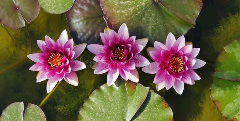 Lotus trois dans l'?tang images stock