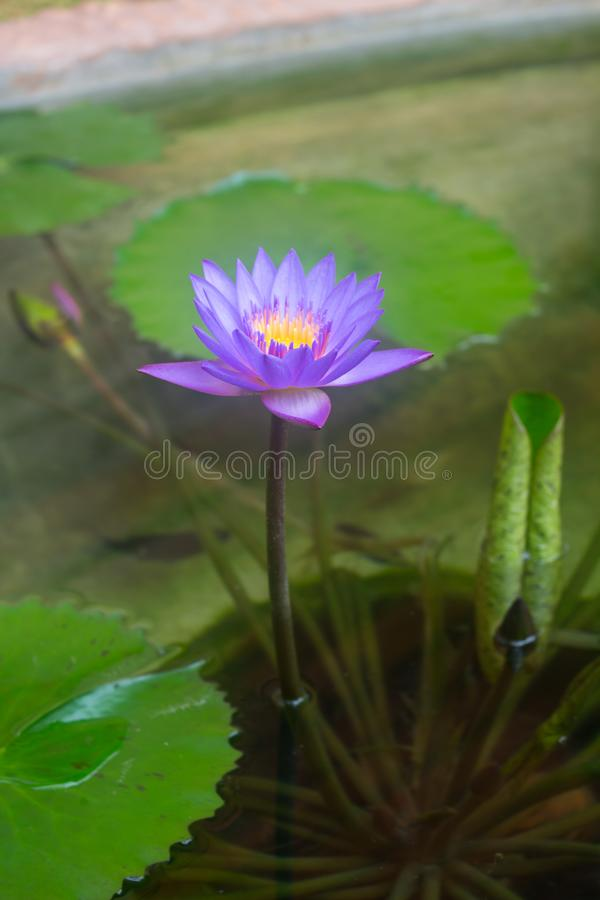 Waterlily, lotus blooming in the tropical garden stock images