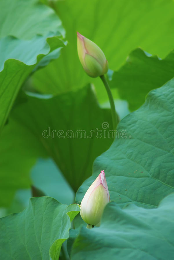 Lotus. Two lotus flower ready to open royalty free stock image