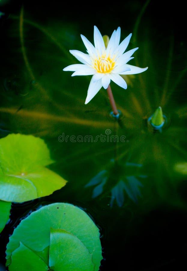 Lotus van de zuiverheid stock foto