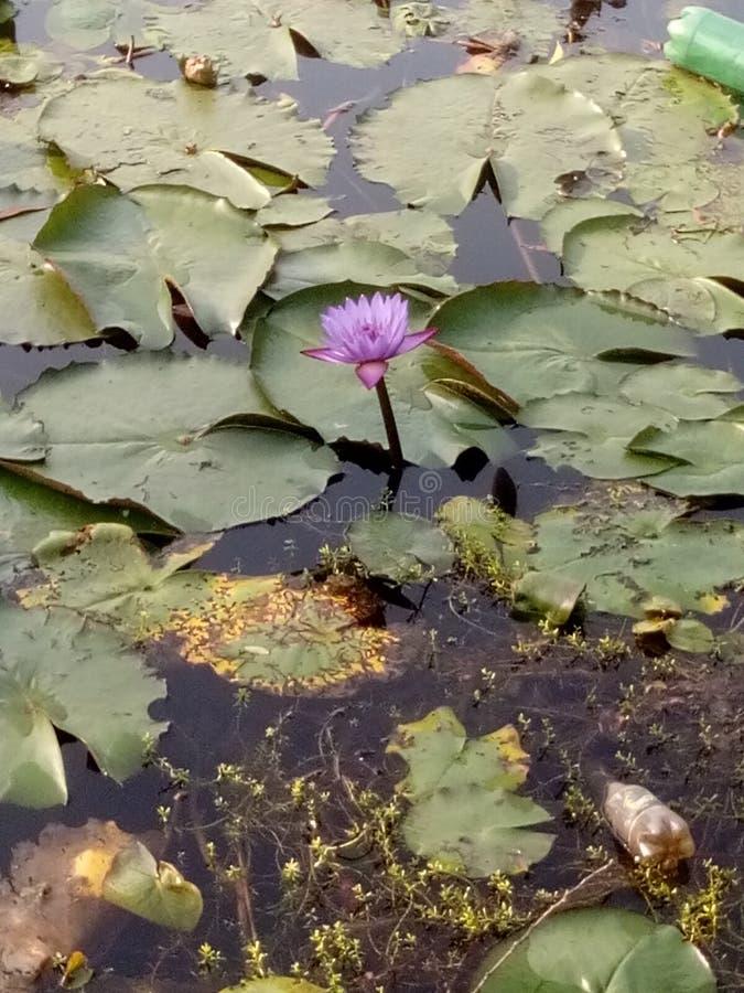 Lotus van een vijver stock afbeeldingen