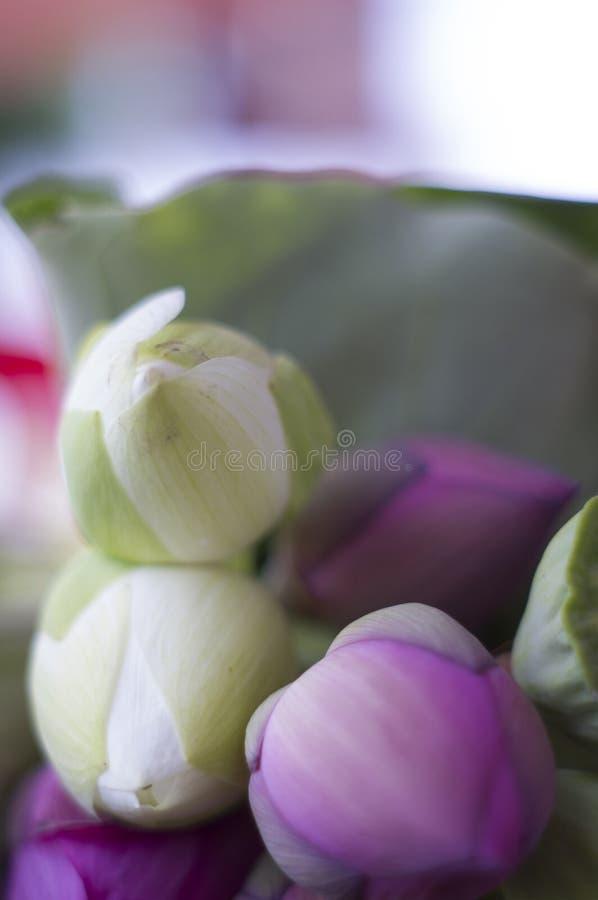 Lotus van Vietnam royalty-vrije stock afbeeldingen