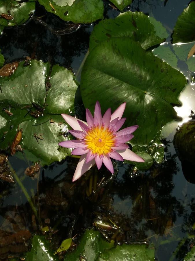 Lotus in vecchio stagno immagini stock libere da diritti