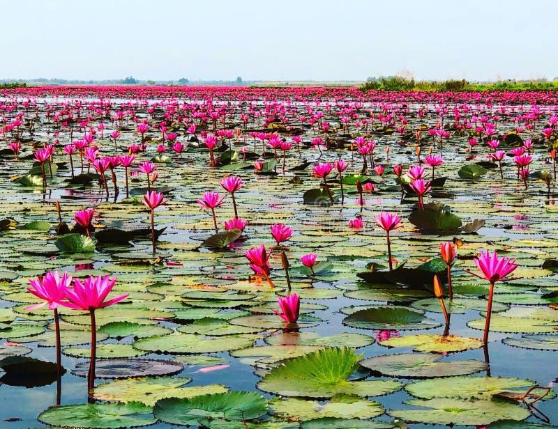 Lotus vermelho imagens de stock royalty free