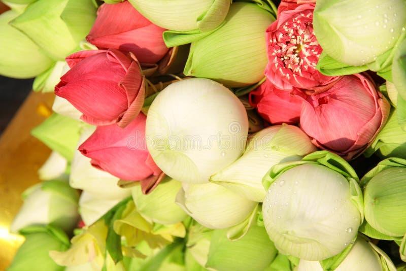 Lotus vert rose photo stock