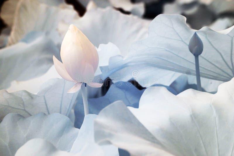 Lotus (vetenskapligt namn: Nelumbonucifera) royaltyfri fotografi