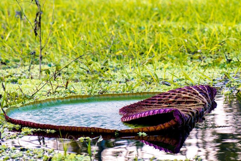 Lotus/Victoria Regia-bottom up uit de Amazone met stekels en flowe stock foto