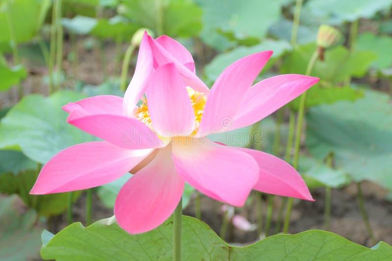 Lotus in Vietnam royalty-vrije stock foto's