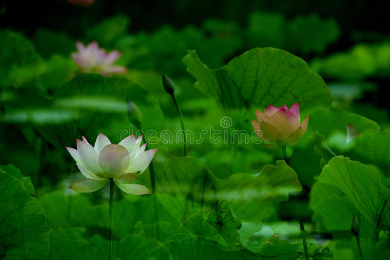 Lotus in vijver royalty-vrije stock afbeelding