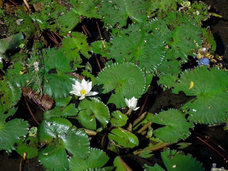 Lotus in vijver royalty-vrije stock foto