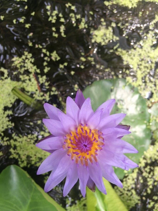 lotus violet en soleil image stock