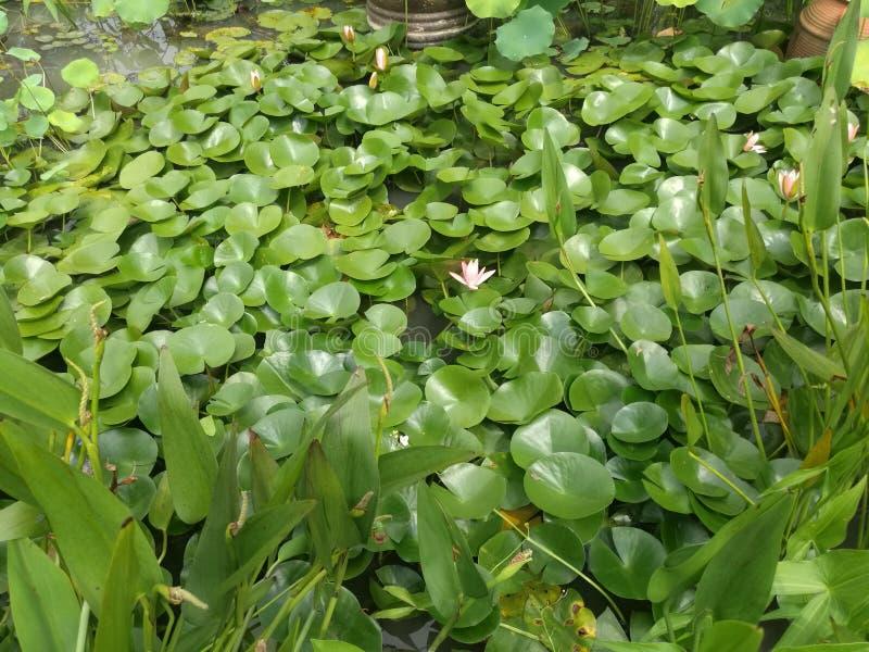 Lotus w przecieku obrazy stock