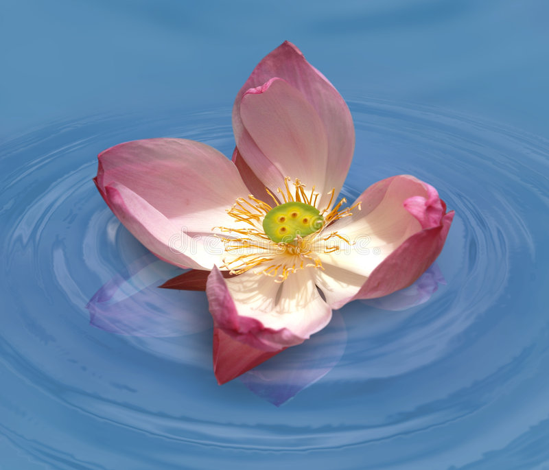 Lotus in water. Pink lotus in clear water stock photo
