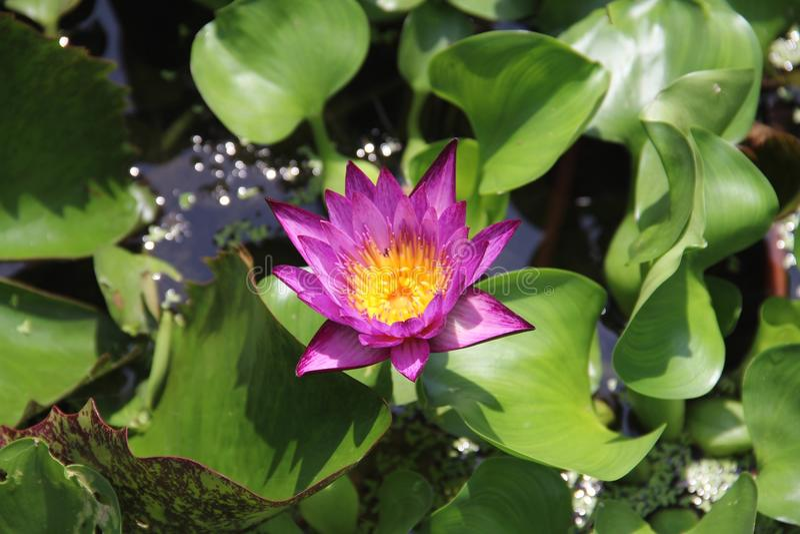 Lotus in Water royalty-vrije stock foto