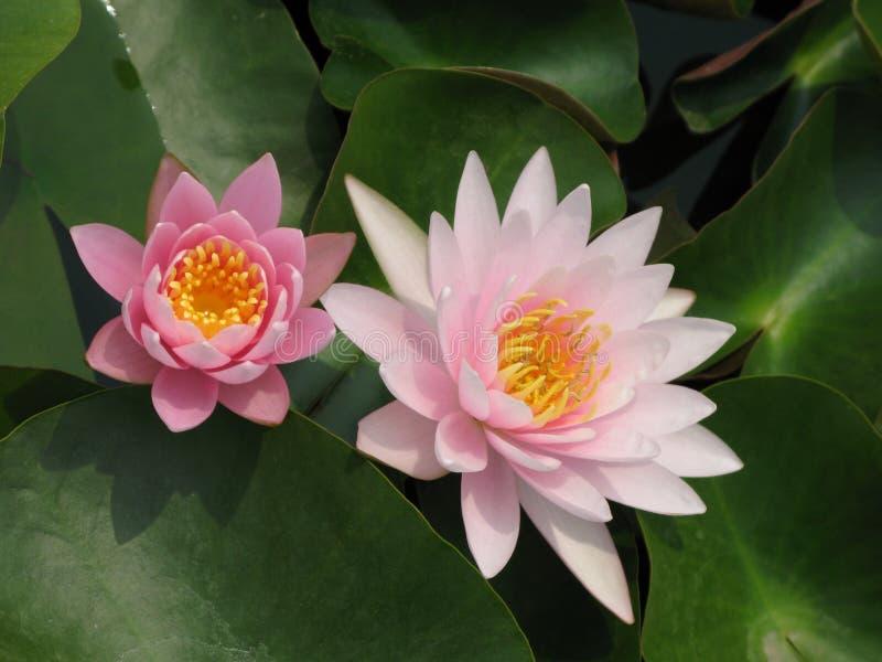 Lotus on water stock photo