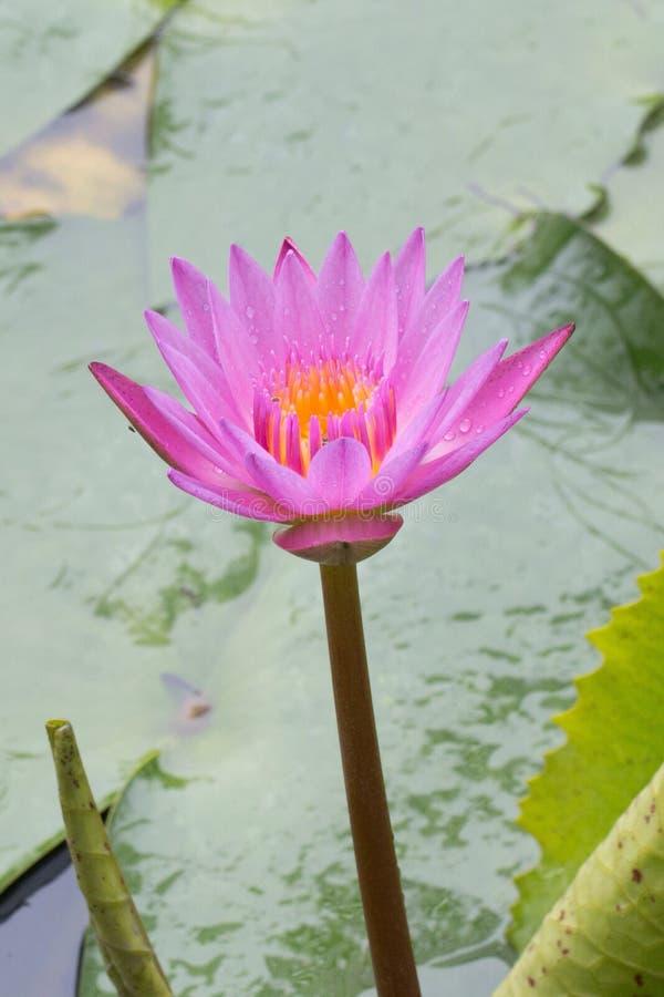 Lotus Water Lily photographie stock libre de droits