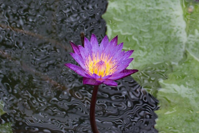 Lotus Water Lily images libres de droits